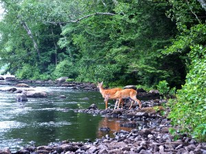 deer at stream